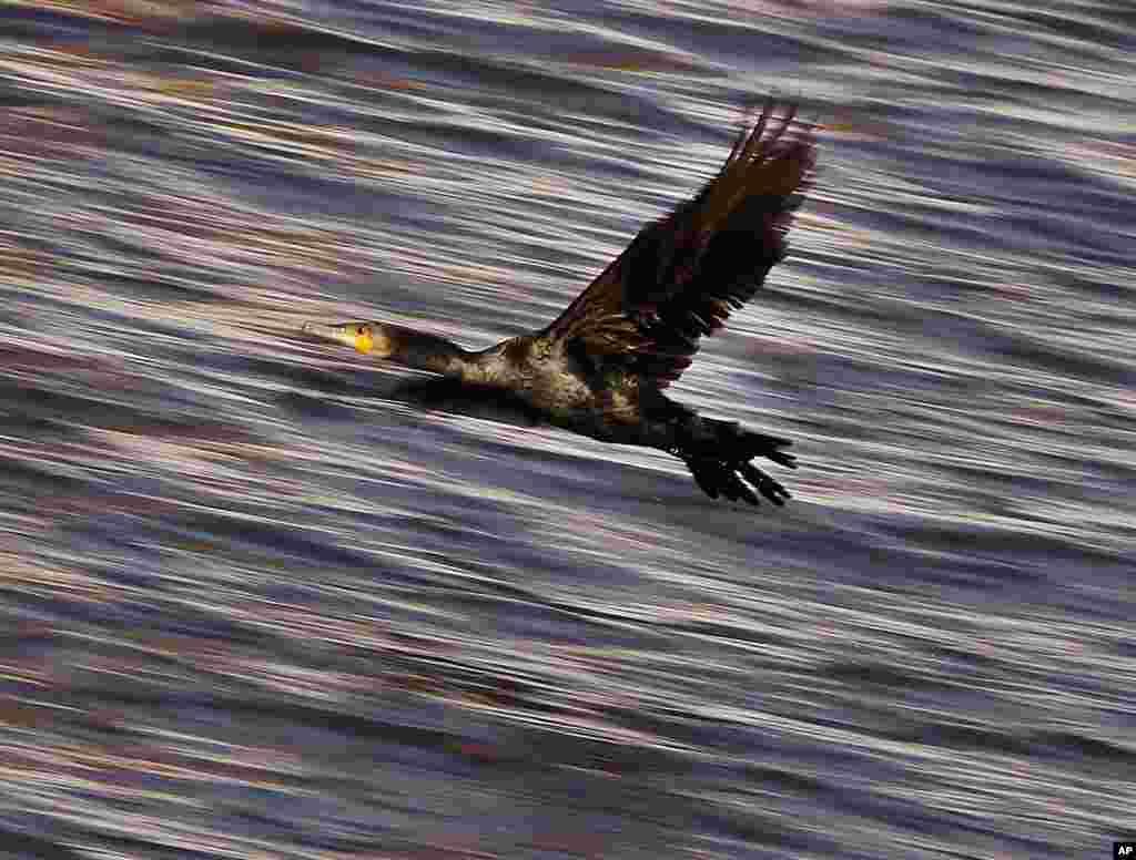 پرواز یک مرغ ماهیخوار بر فراز رودخانه راین فرانکفورت آلمان