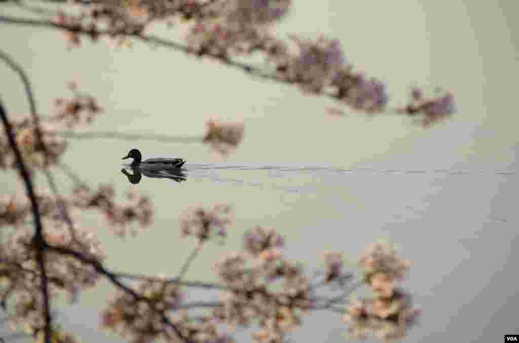 A duck paddles close to shore early morning at the Tidal Basin, Washington, DC, April 13, 2014. (Elizabeth Pfotzer/VOA)