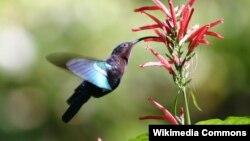 Burung Kolibri, burung kecil peminum madu bunga mulai tiba di Amerika bagian utara sejak tahun 1800-an (foto: dok).
