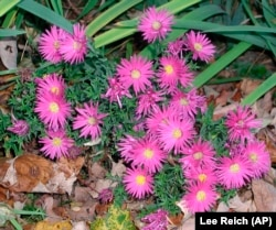 This undated photo shows New York asters (aster novae-belgii) in New Paltz, N.Y. Asters can be enjoyed in the garden as well as in the wild. (AP Photo/Lee Reich)
