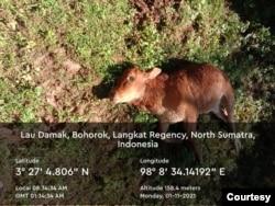 Hewan ternak milik warga yang dimangsa harimau Sumatera di Kecamatan Bahorok, Kabupaten Langkat, Sumut, Senin 11 Januari 2021. (Courtesy: BBKSDA Sumut).