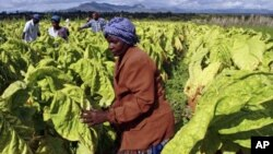 FILE: Farm workers harvest tobacco leaves at Nyamzura Farm in Odzi, about 200 kilometers east of capital city Harare, Zimbabwe, February 18, 2011