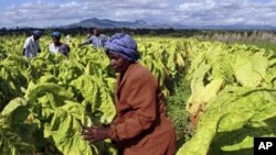 Farm workers harvest tobacco leaves at Nyamzura Farm in Odzi, about 200 kilometers east of capital city Harare, Zimbabwe, February 18, 2011