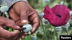 A man lances a poppy bulb to extract the sap, which will be used to make opium in Mexico. (File)