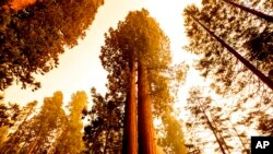 Sequoia trees stand in Lost Grove along Generals Highway as the KNP Complex Fire burns about 15 miles away, Sept. 17, 2021, in Sequoia National Park, Calif.