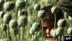 ნარკოტრეფიკინგი - ავღანეთის უმთავრესი პრობლემა