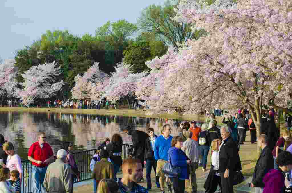 Crowds of people enjoy the famed cherry blossoms, a gift from Japan 102 years ago, Tidal Basin, Washington, DC, April 13, 2014. (Elizabeth Pfotzer/VOA)