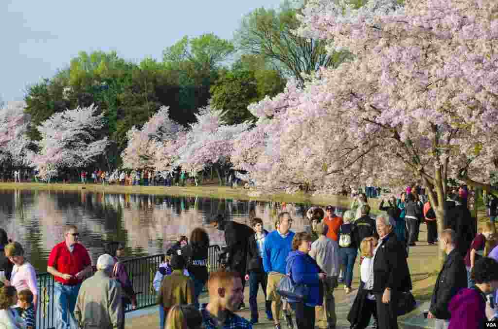 Multidões de gente apreciam as famosas cerejeiras, um presente do Japão há 102 anos, em Washington, DC, Abril 13, 2014. (Elizabeth Pfotzer/VOA)