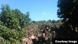 Kudakwashe Bhasikiti allegedly chopped down some of his citrus trees after he was sacked by President Robert Mugabe.