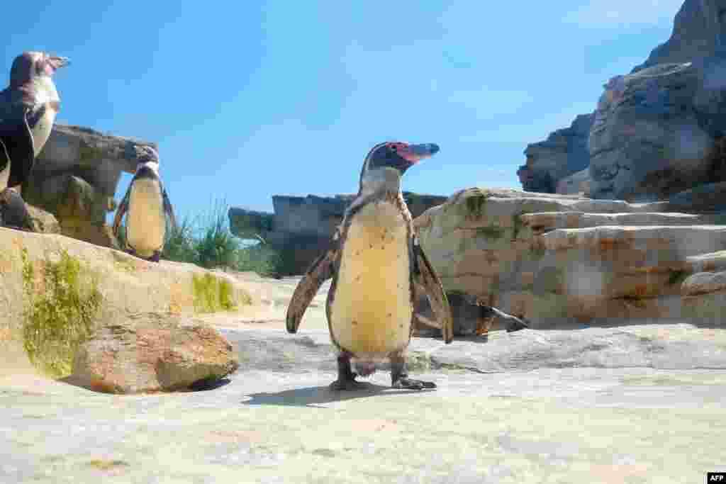 تصویری از پنگوئن های آمریکای جنوبی در باغ وحشی در آلمان