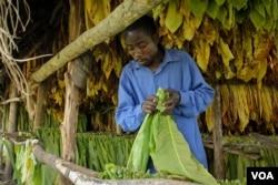 Fred Asaba works in a tobacco drying shed outside Kikoboza, Western Uganda, July 3, 2014. (H. Heuler/VOA News)