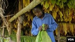 Un producteur ougandais de tabac (Photo H. Heuler/VOA News)