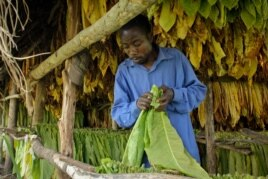 Fred Asaba works in a tobacco drying shed outside Kikoboza, Western Uganda, July 3, 2014. (H. Heuler/VOA News)