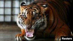 "Seekor harimau Sumatera di hutan konservasi fauna liar ""Tambling Wildlife Nature Conservation"" (TWNC), dekat Bandar Lampung (foto: ilustrasi)."
