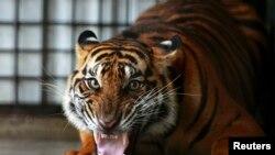 Harimau Sumatera di kompleks Pusat Penyelamatan Harimau Sumatera, di Tambling Wildlife Nature Conservation (TWNC), dekat Bandar Lampung, ujung selatan pulau Sumatra, 25 Februari 2013. (Foto: dok).
