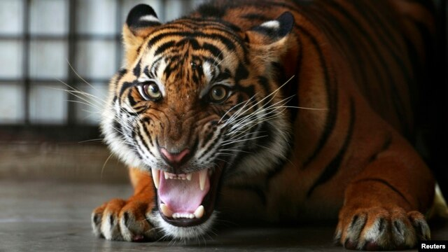 A Sumatran tiger growls at the Sumatra Tiger Rescue Center compound, inside Tambling Wildlife Nature Conservation (TWNC), near Bandar Lampung, the southern tip of Sumatra island, Feb. 25, 2013.