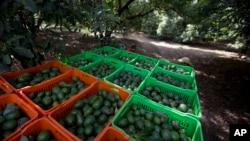 FILE - Avocado boxes are collected an avocado orchard in Michoacan, Mexico, Jan. 16, 2014.