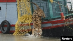 FILE - A male tiger is released into the waters of the river Harikhali at the Sundarbans delta forest, about 150 km (93 miles) south of the eastern Indian city of Kolkata, July 22, 2009.