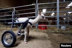 "Anak alpaka bernama ""Marie Hope"" setelah mendapatkan roda khusus berjalan di sebuah peternakan di Freisen, Jerman (7 April 2021)."