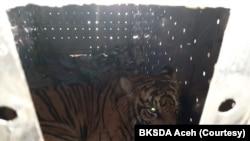 Harimau Sumatera yang diberi nama Danau Putra saat dilepasliarkan di kawasan Taman Nasional Gunung Leuser, Aceh, Sabtu 30 Januari 2021. (Foto: Courtesy/BKSDA Aceh)