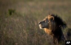 Seekor singa jantan melihat ke padang savana saat senja sebelum ditembak dengan panah penenang, agar dapat dipasangi kalung pelacak GPS, oleh tim yang dipimpin oleh Kenya Layanan Satwa Liar (KWS) di Nairobi, 25 Januari 2014. (AP)