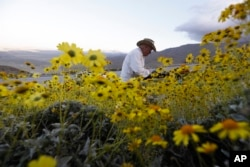 Retired California state park ranger Jim Long, of San Clemente, Calif., hunts for pictures among blooming desert shrubs in Borrego Springs, Calif., March 27, 2017.