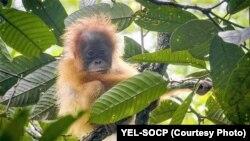 Bayi Orangutan Tapanuli (Pongo Tapanuliensis). (Foto: YEL-SOCP).
