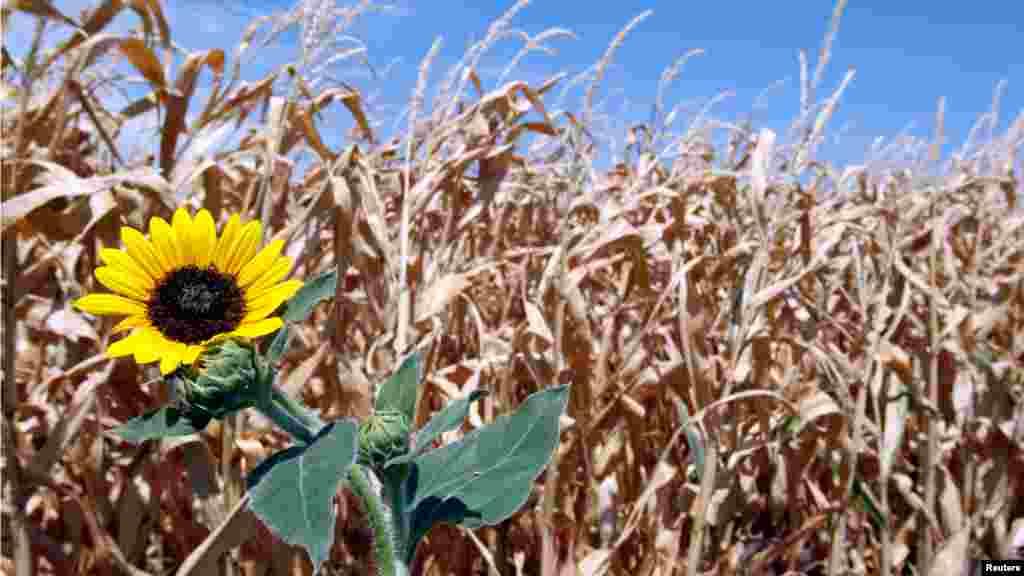 Smeđe i isprženo polje kukuruza pokazuje posljedice duge suše u Teksasu