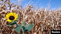 Ladang jagung di kawasan pertanian Farmersville, negara bagian Texas gagal panen akibat kekeringan dan gelombang panas.