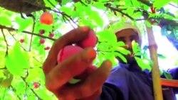 آلو بخارے کا باغ منافع بخش کاروبار
