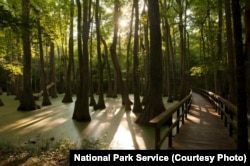 A short trail over and around Cypress Swamp (milepost 122) provides Natchez Trace Parkway visitors with a chance to hop out of their car and take a hike to see turtles, alligators, and a variety of birds.