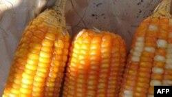 """""""Ddg"""" là một phó sản trong ngành sản xuất rượu ethanol từ bắp, chứa các chất dinh dưỡng thích hợp cho việc sản xuất thực phẩm gia súc"""