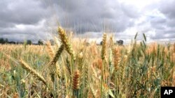 Wheat rust in Kenya