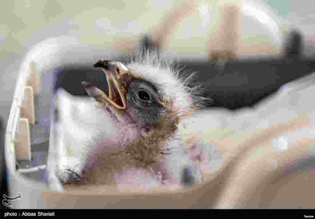 تولد نخستین جوجه عقاب طلایی در اسارت -استان البرز عکس: عباس شریعتی