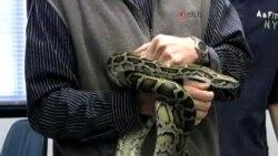 蟒蛇为治疗心脏病提供启发