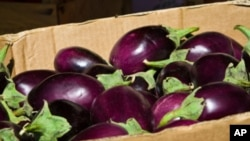An Indian seed company has developed an eggplant that it says will dramatically reduce the need for pesticides.