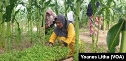 Seorang ibu anggota kelompok tani perempuan di Huntara desa Lolu merawat bibit tanaman rica yang berada diantara tanaman jagung, 30 Juli 2019. (Foto: Terkini.com/Yoanes Litha)