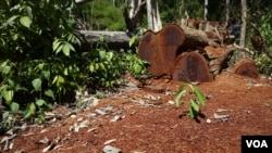 Cut timber was found in a forest in Ratanakiri province, Cambodia, December 2015. (Nov Povleakhena/VOA Khmer)