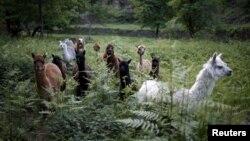 羊駝血液抗體為治療新冠病毒病帶來希望