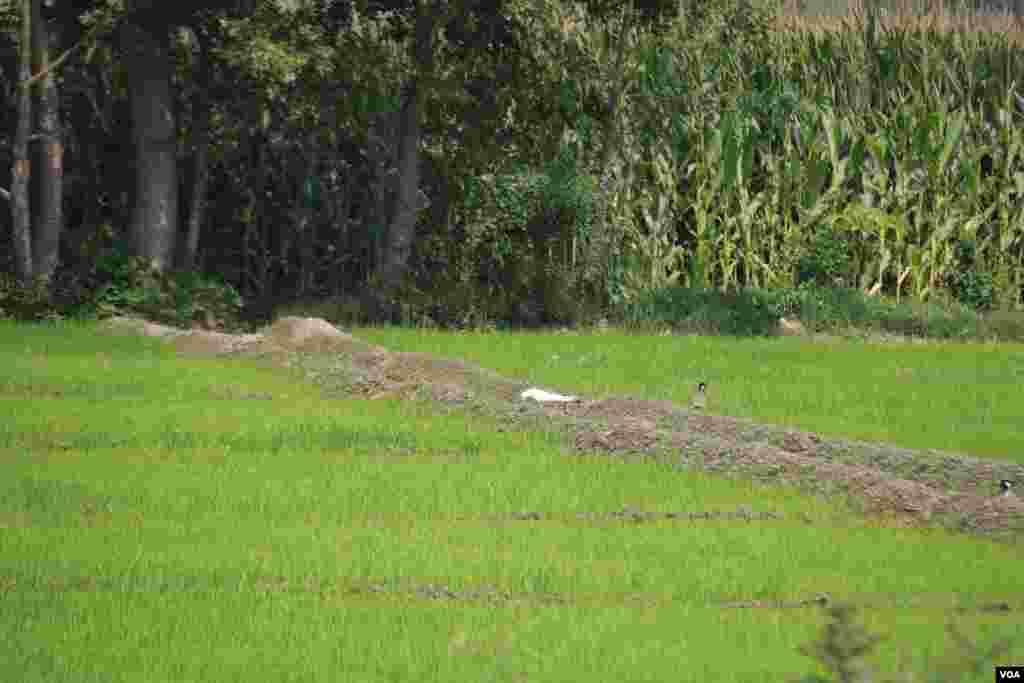 پاکستان میں مکئی بھی بڑے پیمانے پر کاشت کی جاتی ہے۔ یہ پاکستان کی اہم فصلوں میں سے ایک ہے۔