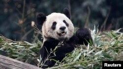 Panda raksasa Er Shun di kebun binatang di Chongqing, 11 Februari 2012. (Foto: dok. REUTERS/Chris Wattie)
