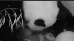 華盛頓國家動物園喜迎熊貓寶寶誕生