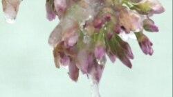 La nieve amenaza florecimiento de cerezos en Washington