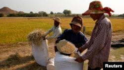 FILE - Farmers collect rice in a rice paddy field in Kandal province, Cambodia, Feb. 11, 2015.