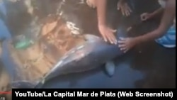 A crowd gathers around a small dolphin taken from the ocean in Argentina.
