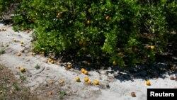 Созревшие апельсины сгнили из-за нехватки сезонных рабочих для сбора урожая на ферме в Лейк-Уэльс во Флориде, 1 апреля 2020 года