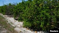 Fermada ishchilar yo'qligi sababli terib olinmay, to'kilib yotgan apelsinlar. Florida shtati, 1-aprel.