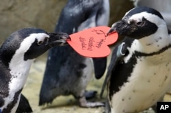 African penguins compete for a heart shaped valentine handed out by aquarium biologist Piper Dwight at the California Academy of Sciences in San Francisco, Tuesday, Feb. 12, 2019.