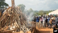Pemerintah Kamerun membakar sekitar 2.000 gading gajah hasil sitaan, dihadiri oleh Dubes AS untuk PBB, Samantha Power, di Yaounde 19 April lalu (foto: dok).