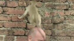 ลิงจอมซน ที่เทศกาลโต๊ะจีนลิง ลพบุรี